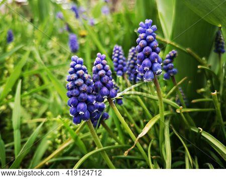 Flowers In The Garden - Grape Hyacinths - Muscari Neglectum