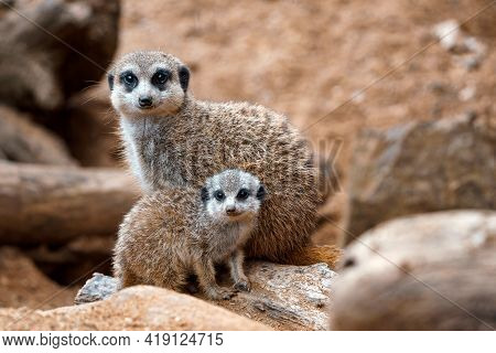 A Vertical Shot Of A Cute Meerkat  Sitting On A Wood Piece. Meerkat Or Suricate Adult And Juvenile.