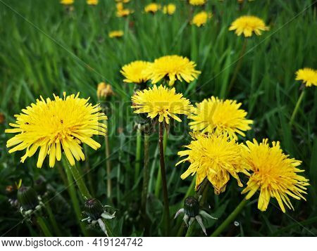Yellow Dandelions In Green Grass. Flowers In The Spring