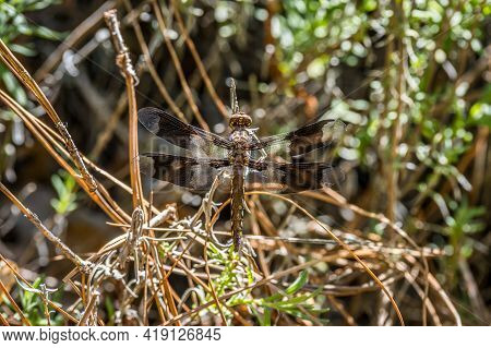 A Small Black And Yellow Dragonfly Perched On A Pine Straw On The Ground With Its Transparent Wings