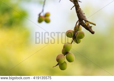 Young Green Plum. In May, Plums Ripen On The Branches Of Trees. The Berries On The Tree Are Waiting