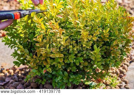 Pruning Ornamental Boxwood With Pruning Shears To Form The Shape Of A Bush.