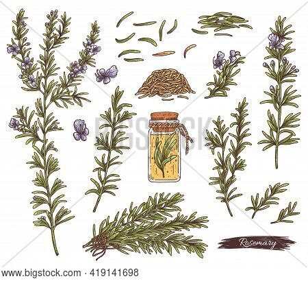 Rosemary Plant Set - Flowers, Branches And Seeds A Vector Herbal Sketch.