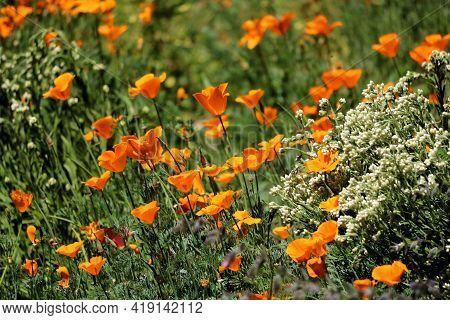 Poppy Flower Blossoms During Spring On A Lush Prairie Taken At A Grassy Field In The Rural Southern