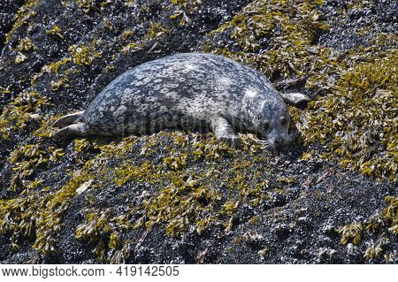 A Seal Resting On The Rock.     West Vancouver Bc Canada