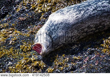 A Seal Yawning On The Rock.  West Vancouver Bc Canada