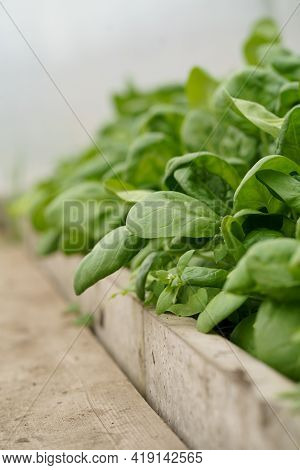 Baby Spinach Growing In An Urban Garden In A Greenhouse. Dark Green Spinach Leaves Close Up