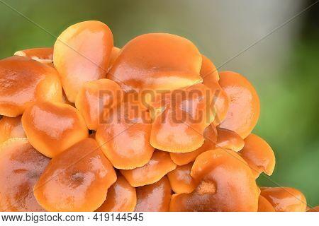 Edible Mushrooms Flammulina Velutipes Known As Enokitake, Golden Needle Mushroom Or Lily Mushroom .