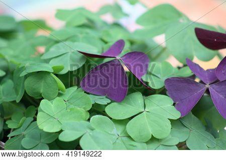 Green Broadleaf Woodsorrel Closeup View Of It