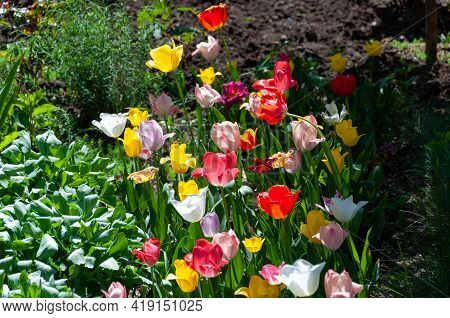 Pink Tulip With Sunlight. Red And Yellow Tulips In The Garden. Tulips In Spring Morning Sunlight