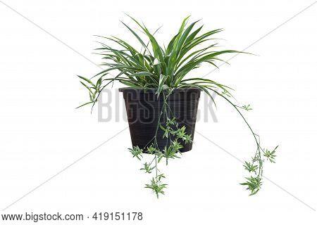 Spider Plant Or Chlorophytum Bichetii (karrer) Backer In Black Plastic Pot Isolated On White Backgro