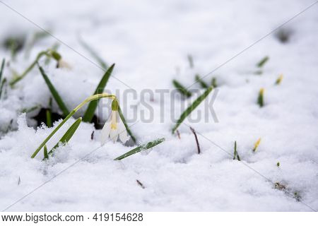 A Bee Flies Up To The Primroses Blooming In The Snow. Snowdrop Flowers Blooming Among The Melting Sn