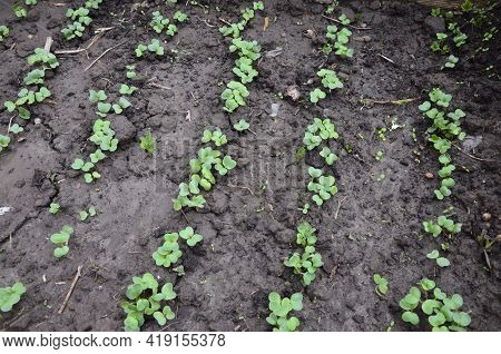 Small Radishes Growing In The Soil