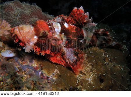 Front View Of A Bearded Scorpionfish Resting On Corals Cebu Philippines