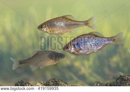 European Bitterling (rhodeus Amarus) Wild Fish Shoal Swimming Underwater In Natural Environment On T