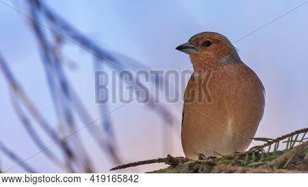fine chaffinch sitting on tree branch