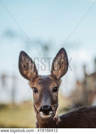 Deer fawn portrait. Cute young deer.