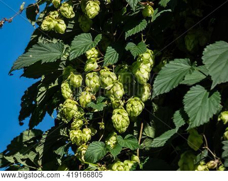 Climbing Plant Common Hop (humulus Lupulus) With Cone Shaped Fruits In Sunlight With Blue Sky Backgr