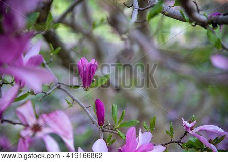 Defocused Bokeh Background Copy Space And Pink Flowers And Purple Magenta Buds. Green Nature Backgro