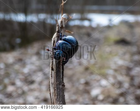 Close-up And Macro Shot Of Dor Beetle (earth-boring Dung-beetle) Hanging On A Small Branch With Grou