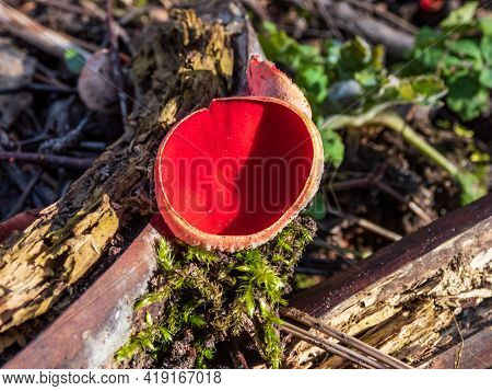 Cup-shaped Fungus Scarlet Elfcup (sarcoscypha Austriaca) Fruit Body Growing On Fallen Pieces Of Dead