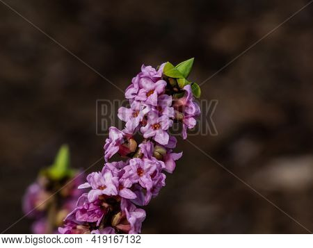 Four-lobed Pink And Light Purple Strongly Scented Flowers Of Toxic Shrub Mezereon Or February Daphne