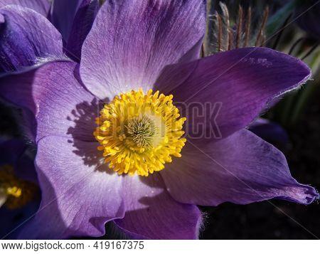 Macro Shot Of Golden Yellow Stamens Inside Of Purple Flowers Of Eastern Pasqueflower (pulsatilla Pat