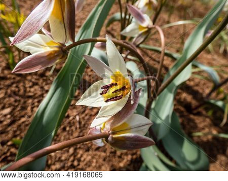 Close Up Shot Of White And Yellow Flowering Plant With Star-shaped Flowers - Turkestan Tulip (tulipa