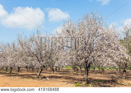 Grove of almond trees in spring bloom. Picturesque alley of flowering almond trees. Israel. Warm sunny february day.