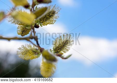 Willow Branch With Budding Buds Close-up Against The Blue Sky