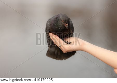 Hungry Pigeon Sitting On Hand