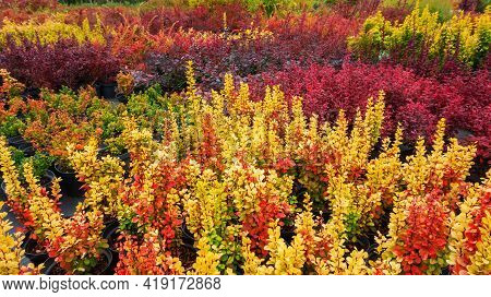Variety Of Thunberg Barberry Species In The Plant Nursery. Autumn Colors Of Barberry Shrubs Garden.