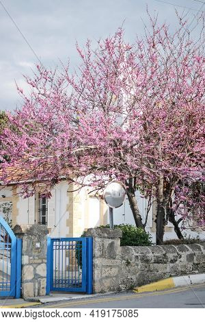 A Ceris Siliquastrum Judas Tree With A Orthodox Church In The Background. Spring With Pink Flowering