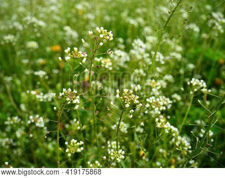 Shepherd's Purse Plant In The Meadow. Capsella Bursa-pastoris. Meadow Or Field. Lawn In The Forest.