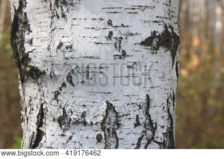 Birch Bark Texture With Beautiful Birch Bark Pattern For Beautiful Natural Birch Bark Wallpaper Or N
