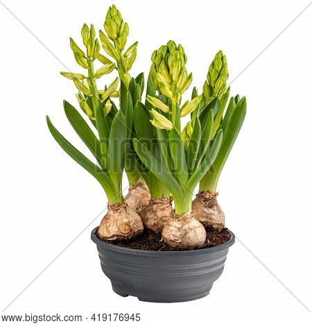 Growing Spring Hyacinth Flower Bulb Isolated On White Background