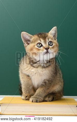 Little Scottish Straight Kitten Sits On A Green Background, Chinchilla Cat