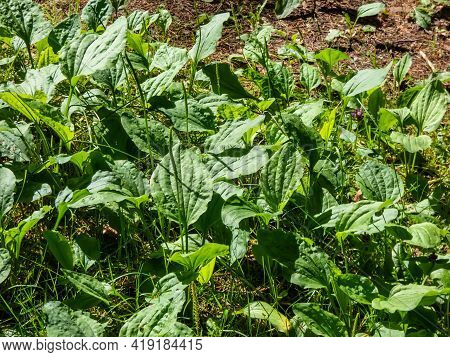 View On Many Plants Of The Broadleaf Plantain, White Man's Foot, Or Greater Plantain (plantago Major