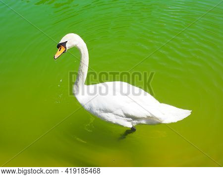 A White Swan Floats On Green Water. Waterfowl On The Surface Of The Water. Stanisici, Bijelina, Bosn