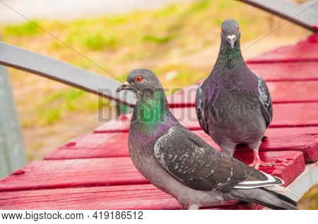 Two beautiful closeup view of common city feral pigeons (Columbidae) sitting on the bench