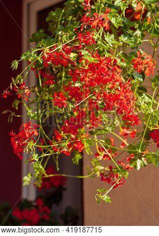 red pelargonium flower in the pot, Pelargonium peltatum