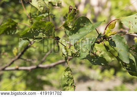 Fruit Tree Leaves Eaten By Pests In A Garden