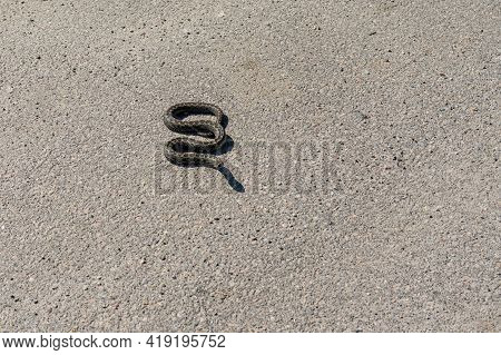 Cold-blooded Viper Is Warming Body On An Asphalt And Ready To Attack Under Warm First Spring Sun