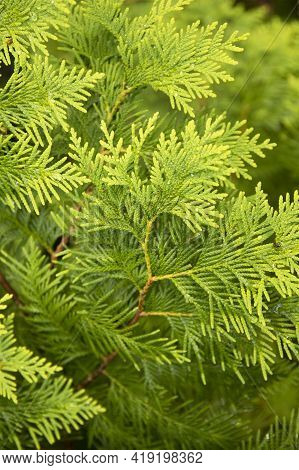 Closeup Fresh Green Branches Of Thuja Trees On Green Background, Evergreen Coniferous Tree.