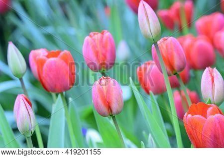 Tulip Very Nice Colorful Spring Garden Flower