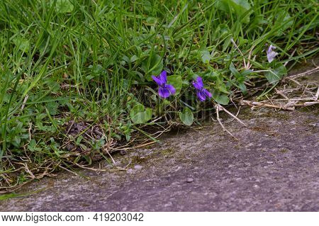 Violet Very Nice Spring Flower By The Road