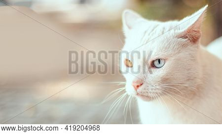Beautiful Adult White Fluffy Wool Cat With Different Color Eyes On The Street. Heterochromia Of The