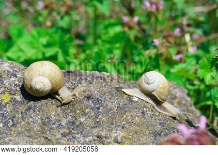Two Snails On A Stone On A Blurred Green Background. A Common Garden Snail In A Shell, A Type Of Lar