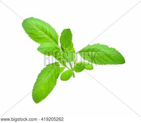 Holy Basil Leaf Or Thai Basil Or Ocimum Sanctum Isolated On White Background ,green Leaves Pattern