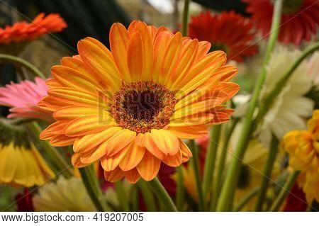Very  Nice Colorful Gerber Flower In My Gharden